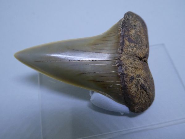 Isurus Hastalis Tooth.